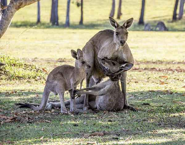 kangaroo-last-moments-joey-evan-switzer-australia-1