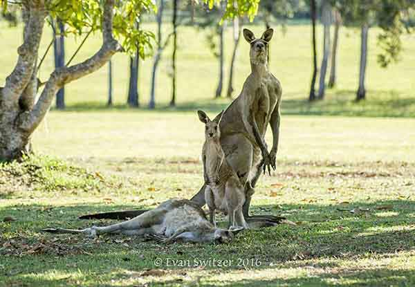 kangaroo-last-moments-joey-evan-switzer-australia-3