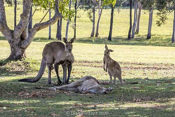 kangaroo-last-moments-joey-evan-switzer-australia-4