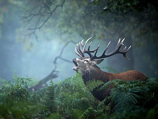 stag-call-ferns_93547_990x742