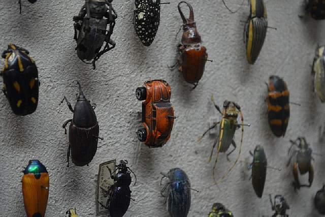 vw-beetle-bug-at-the-cleveland-museum-of-natural-history-beetle-display-exhibit