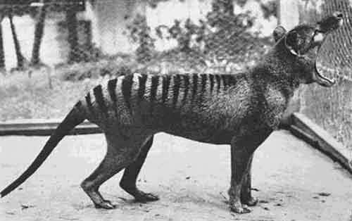 The last known Tasmanian Tiger photographed in 1933. The species is now extinct
