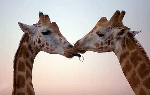 cute-animals-kissing-valentines-day-551__880