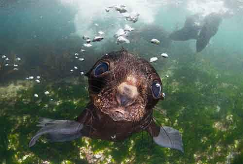 Bering sea. Commander islands. Baby fur seal