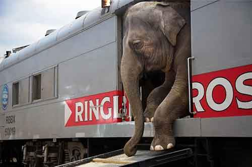 "There are more than 300 people that with the Ringling Bros. and Barnum & Bailey circus blue unit, representing 25 different countries and speaking everything from Russian to Arabic to Guarani. A few travel in cars and trailers, but a majority, 270, live on the trains. Most come from multigeneration circus families, to the extent that collectively, the circus staff represents thousands of years of circus history. The men and women all say that only circus people like them can understand the lifestyle. They spend 44 weeks of the year traveling an average of 20,000 miles from coast to coast on a train that is 61 cars ""a full mile"" long. It is a life of close quarters and rigorous training, a life that many of the performers began in childhood. Their job is to convince the world that the circus still matters."