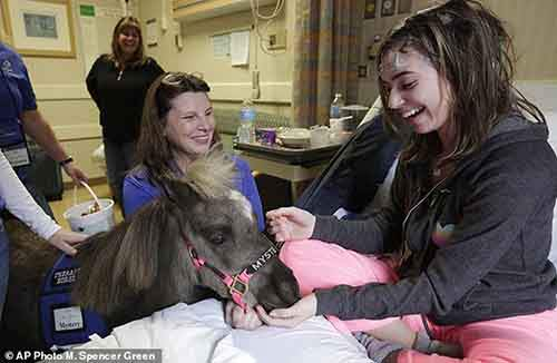 In this Nov. 13, 2014 photo, patient Emily Pietsch spends time with Mystery one of two miniature horses from 'Mane in Heaven' that made a visit to the pediatric unit at Rush University Medical Center in Chicago. Mystery and Lunar, small as big dogs, are equines on a medical mission, to offer comfort care and distraction therapy for ailing patients. It is a role often taken on by dogs in health-care settings _ animal therapy, according to studies and anecdotal reports, may benefit health, perhaps even speeding healing and recovery. (AP Photo/M. Spencer Green)