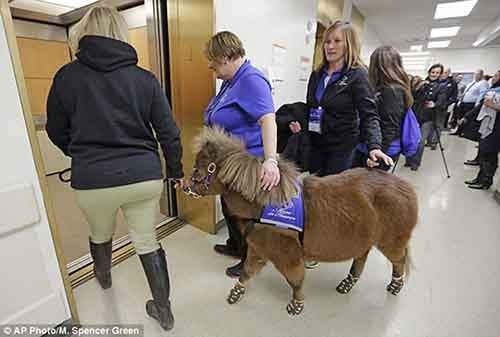 Miniature-therapy-horses-elevator