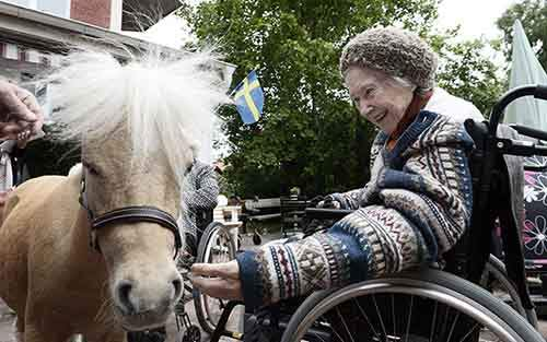 Miniature-therapy-horses-wheelchair (1)