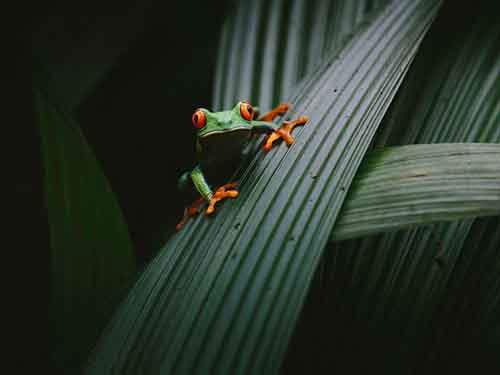 costa-rica-tree-frog-red