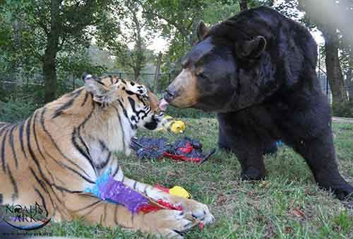 lion-tiger-bear-unusual-friendship-animal-shelter-georgia-14