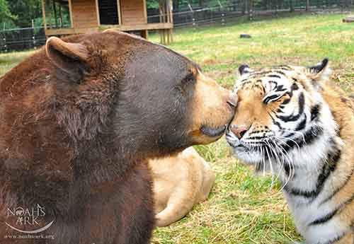 lion-tiger-bear-unusual-friendship-animal-shelter-georgia-17