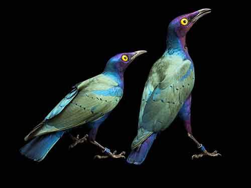 purple-glossy-starlings-ark
