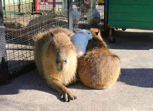 capybara-unusual-animal-friendship-32-5703a43340ff0__605