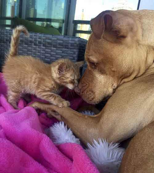 dog-likes-cats-ginger-pit-bull-bubba-loves-rue-1