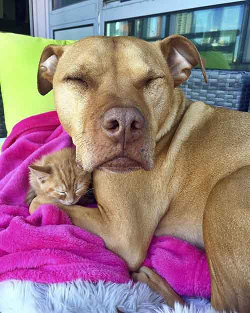 dog-likes-cats-ginger-pit-bull-bubba-loves-rue-10