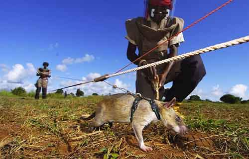 Sniffer Rats Trained To Find Landmines In Mozambique On May 03, 2004.