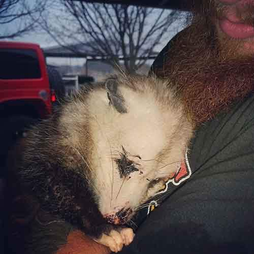 pregnant-opossum-rescued-hugs-humans-7