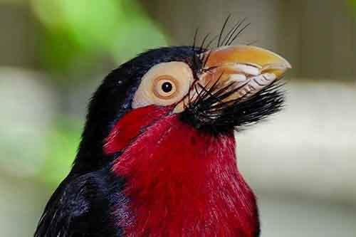 Bearded_Barbet_Head-610x406