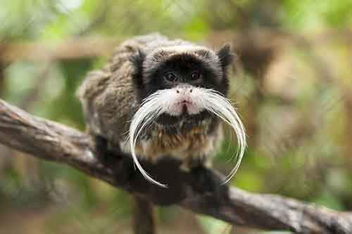 Black-chinned_emperor_tamarin_S._i._imperator-610x406