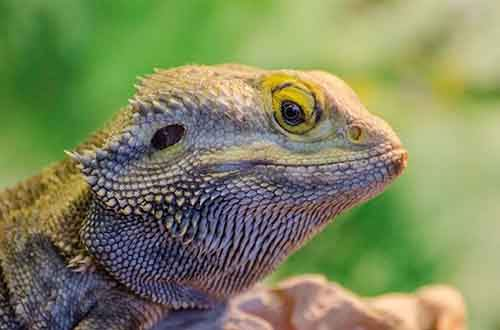 bearded-dragon-610x403