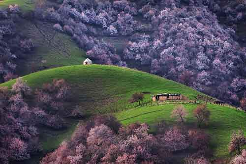 blooming-apricot-valley-yili-china-24