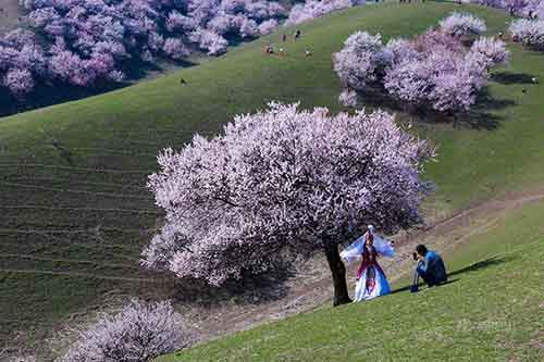 blooming-apricot-valley-yili-china-3