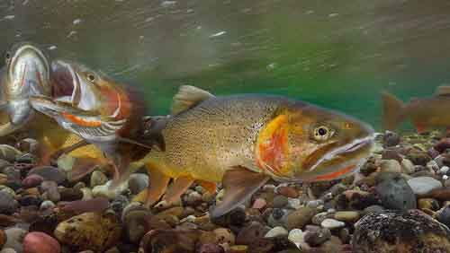 cutthroat-trout-yellowstone