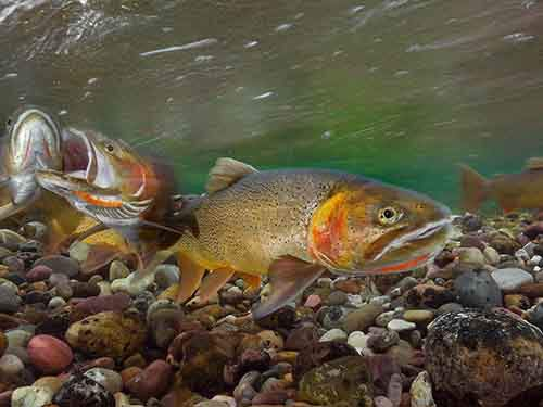 cutthroat-trout-yellowstone_94884_990x742