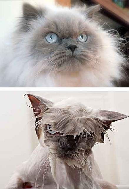 funny-wet-pets-before-after-bath-dogs-cats-63-572b200701c3b__700