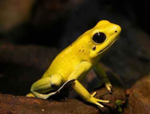 golden-poision-dart-frog-768x587