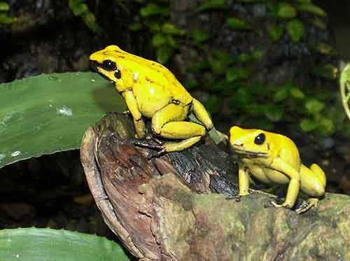 golden-poision-dart-frog3-768x573