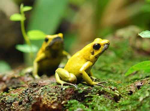 golden-poision-dart-frog4-768x567