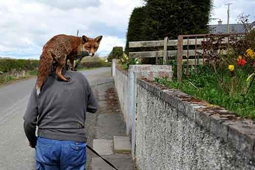 pet-foxes-rescue-patsy-gibbons-ireland-11