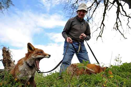 pet-foxes-rescue-patsy-gibbons-ireland-8