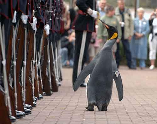 sir-nils-olav-king-penguin-and-colonel-in-chief-of-the-norwegian-royal-guard-1