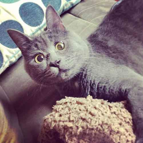 surprised-cat-hydrocephalus-kevin-theadventuresofkev14