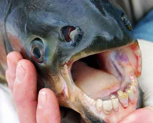5-fish-with-human-teeth-610x491