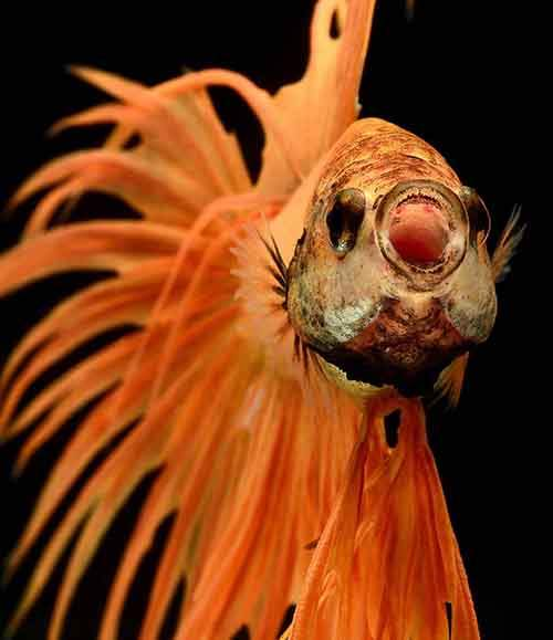orange betta splenden crown tail isolated on black background