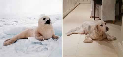 funny-seals-look-like-dogs-13-574d7822a37b9__880
