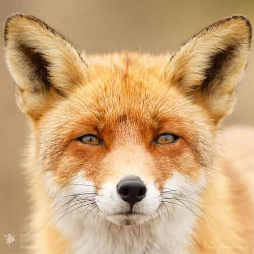 fox-faces-roeselien-raimond-fox