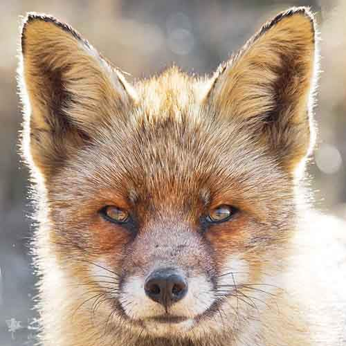 fox-faces-roeselien-raimond-older