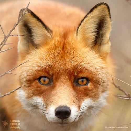 fox-faces-roeselien-raimond-young