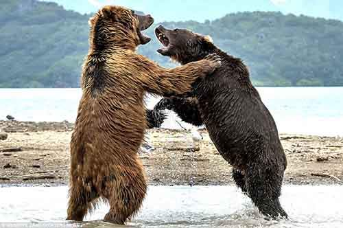 http://mixstuff.ru/wp-content/uploads/2016/08/37913B7200000578-3758279-The_bears_were_fairly_evenly_matched_size_wise_and_by_the_end_of-a-97_1472131547050.jpg