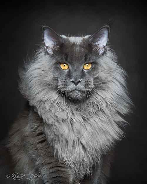 maine-coon-cat-photography-robert-sijka-1