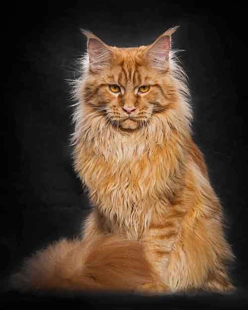 maine-coon-cat-photography-robert-sijka-8