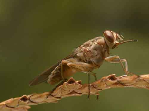 5-tsetse-flies-10000-deaths-a-year