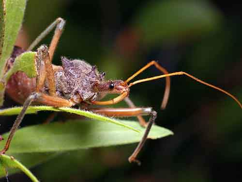 6-assassin-bugs-12000-deaths-a-year