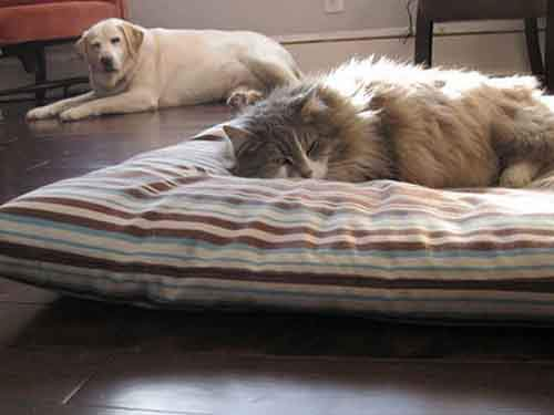 cats-stealing-dog-beds-102-57e13d8380d43__700