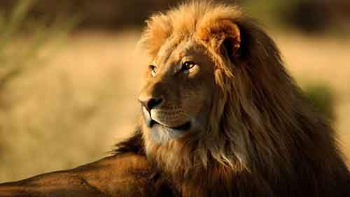 lonely-lion-animal-wallpaper-324-1136x640