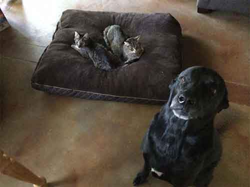 cats-stealing-dog-beds-31-57e102f4d887e__700